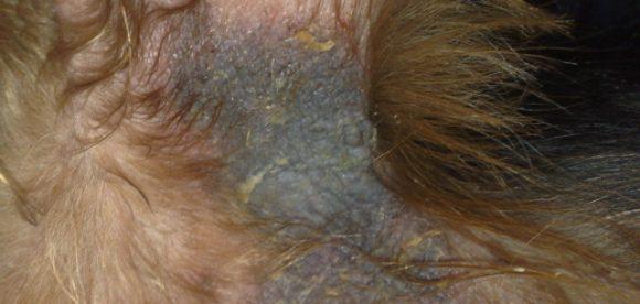 Yorkie Skin Problems Treatment